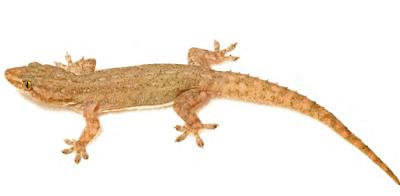 Gecko gecko on the wall