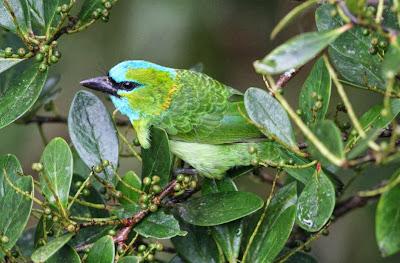 Barbudo elegante Psilopogon pulcherrimus