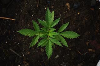 weed,marijuana,cannabis