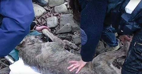 Quand ce sauveteur a vu ce loup, son coeur s'est arrêté de battre. Mais ce qu'il a trouvé dans son corps est pire que tout.