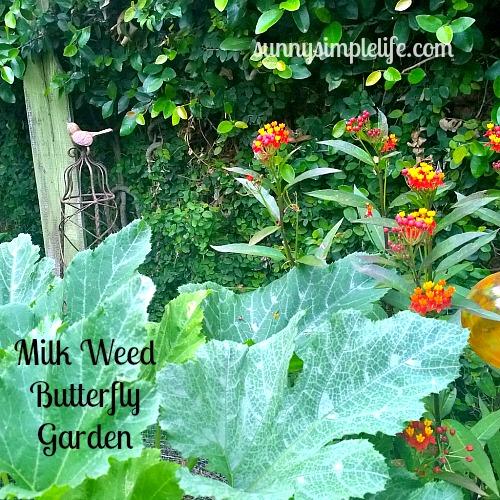 butterfly garden, milkweed, cottage garden, southern California garden