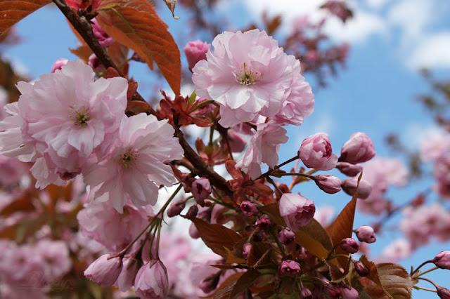 Rosa Blüten von einem Kirschbaum