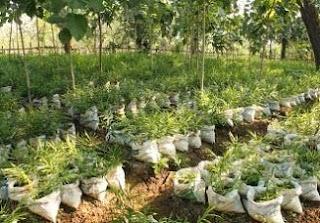 cara budidaya tanaman jahe gajah,cara budidaya tanaman jahe dalam polybag,cara budidaya tanaman jahe lengkap,cara budidaya tanaman jahe merah,