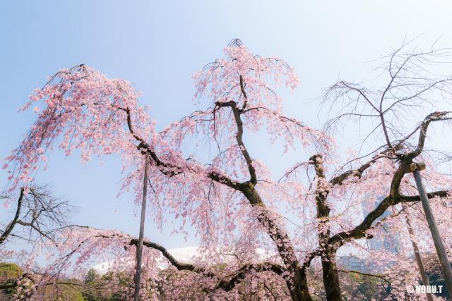 小石川後楽園の枝垂れ桜(馬場桜)