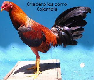 gallo picoelanza, nuevas razas de gallos finos, historia de los gallos finos, por que pelean los gallos, que come un gallo fino