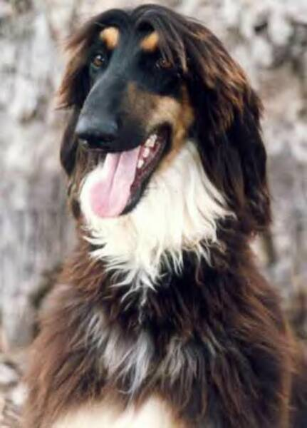 Afghan Shepherd: PetsJubilee: Strongest, Ugliest, Smartest, Dumbest And