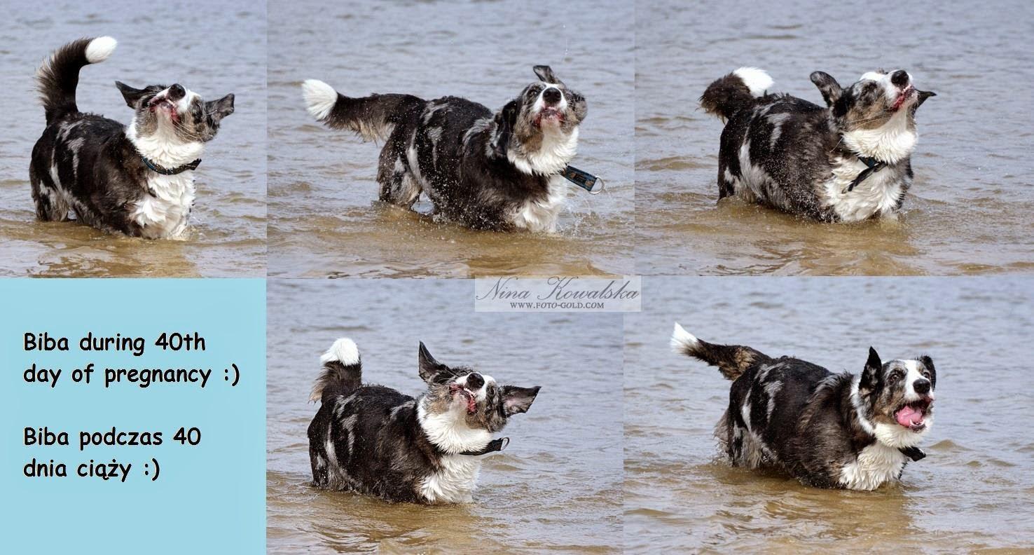 pies, suka, ciąża, welsh corgi, welsh corgi cardigan, corgi, cardigan, woda, szczeniaczki, papisie, szczylki
