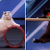 Women Trains Her Cats For America's Got Talent And The Crowd Goes Wild When He Jumps Through The Hoop