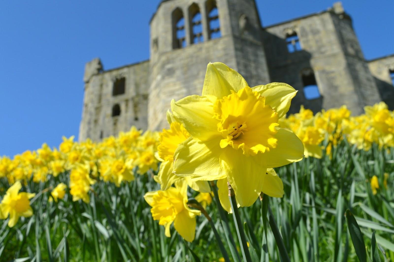 Warkworth Northumberland Daffodils