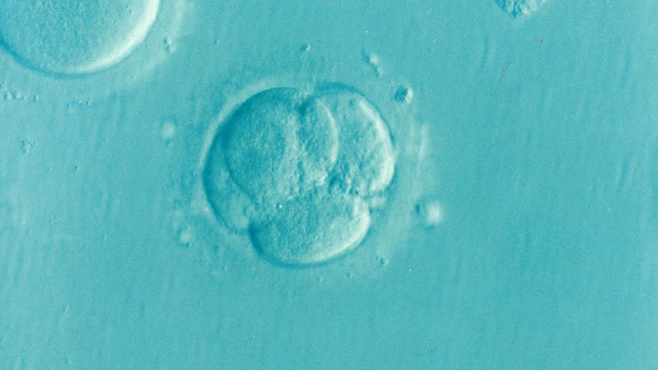 Scientists In Japan Could Create The First Human-Animal Hybrid Embryos