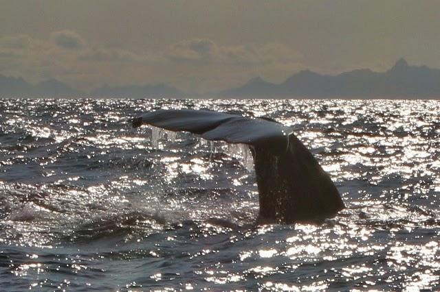 El magnífico segundo cachalote sumergiéndose