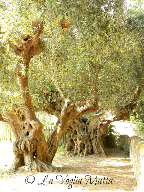 ulivi secolari a Bolgheri