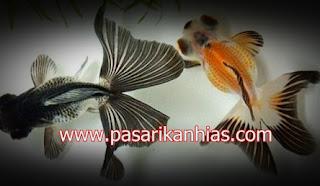 Ikan hias Mas Koki Watonoi