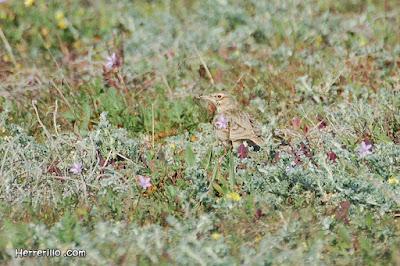 Cogullada vulgar (Galerida cristata)