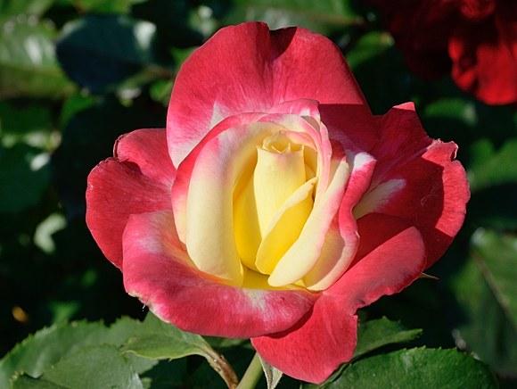 Double Delight сорт розы фото купить саженцы в питомнике Минск