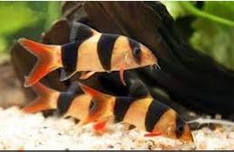 Jenis Ikan Hias Air Tawar  Aquarium botia