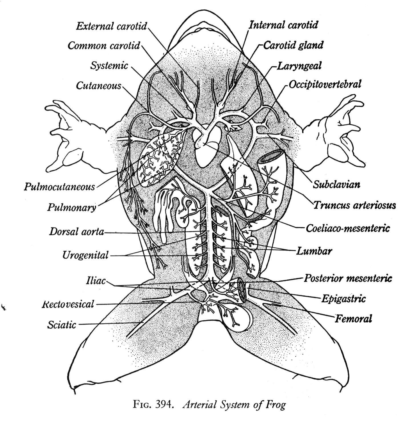 Frog Heart Diagram Color