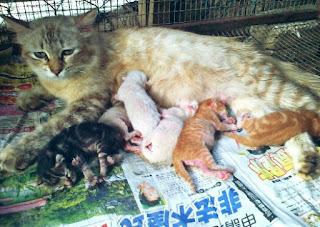 Tanda Tanda Kucing Mau Melahirkan Anaknya Hobinatang