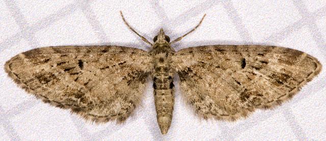 Mottled Pug, Eupithecia exiguata. Hayes, 28 May 2012.