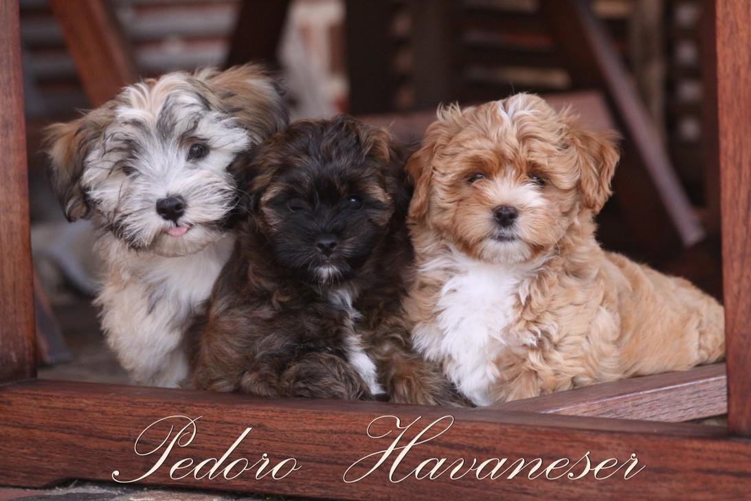 Havaneser Fotos Welpen verschiedenen Farben Kleinhunde Rasse Havanese Havaneser Bichon Bolonka Fotos und Bilder images verschiedene Farben