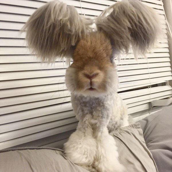 Wally el conejo tiene las mejores orejas que hayas visto
