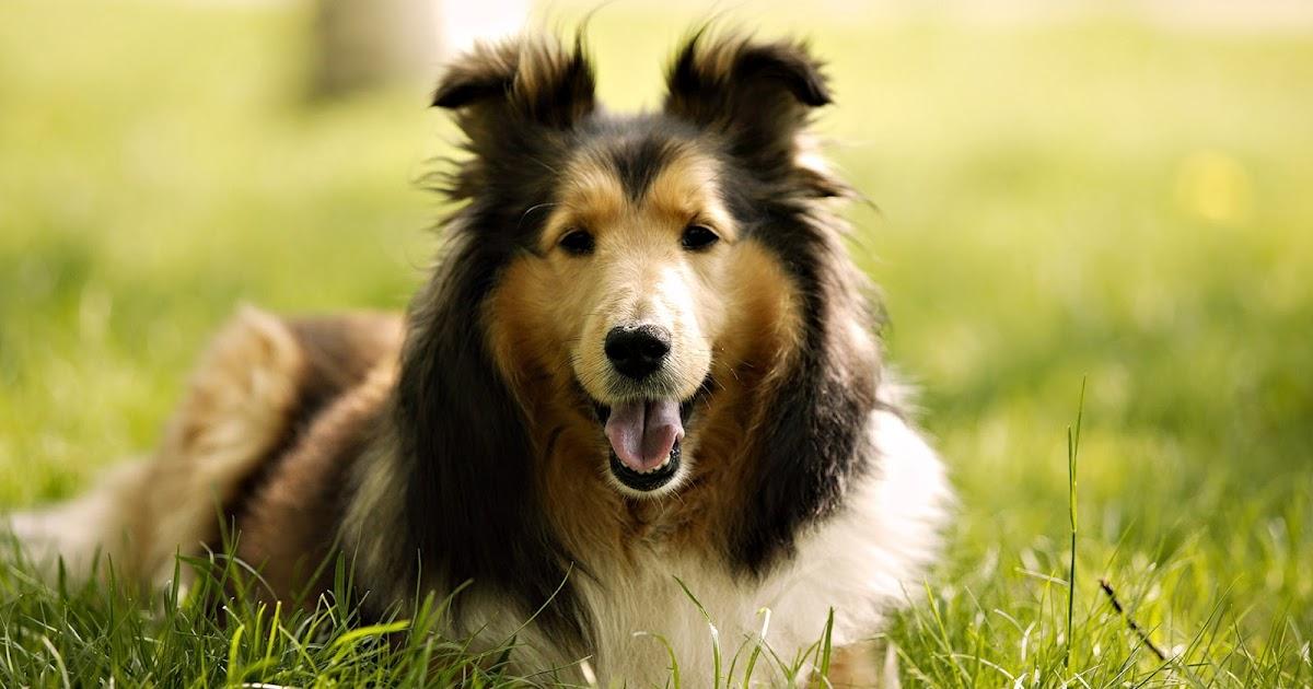Mooie foto van lassie hond of collie  Bureaublad
