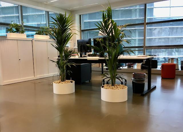 Grote Kentia palm in plantenbak kopen of huren als afscheiding voor bedrijven