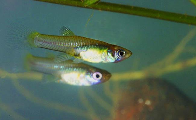 Ikan Gupi