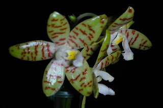 Grow and care Phalaenopsis pallens orchid - Pale Colored Phalaenopsis