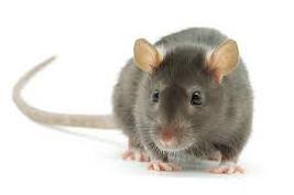 Rat In Hindi