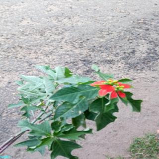 SUMMER POINSETTIA FLOWER - பால்பெருக்கி பூ