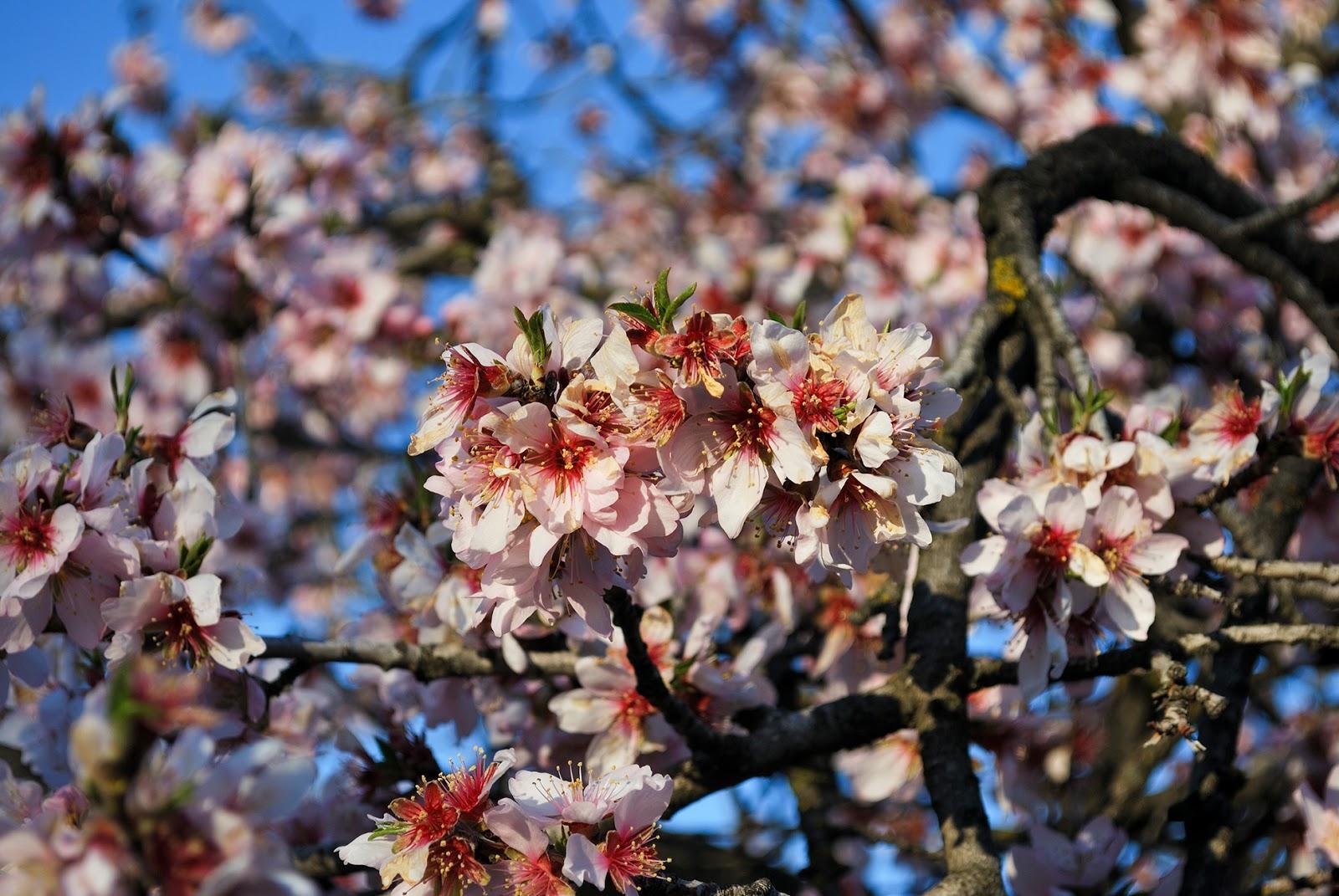 Quinta de los Molinos Madrid flower cherry blossom almond tree
