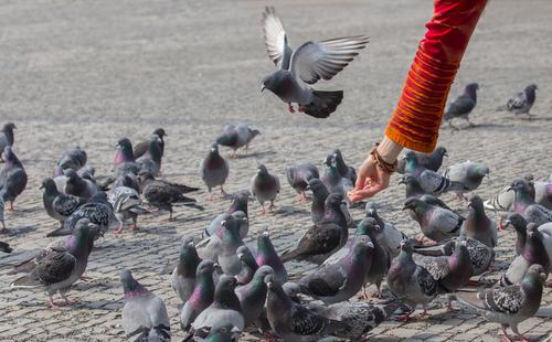 alimentar pombos risco saude