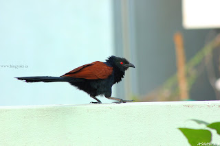 crow pheasant in Bangalore