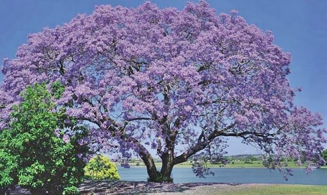 paulownia-ağacının-faydaları