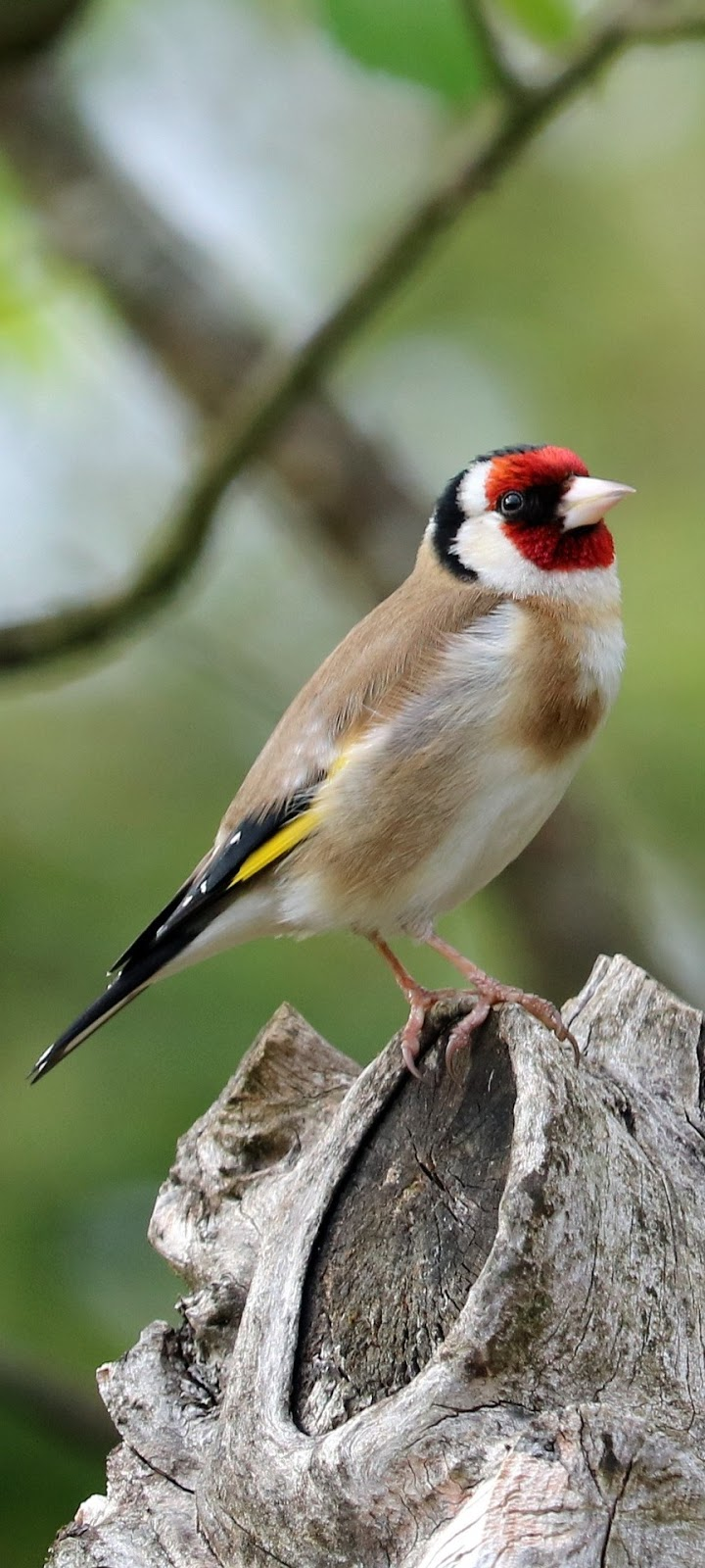 Picture of a goldfinch.