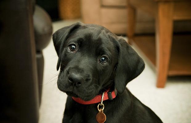 adopt a pet  Como Selecionar uma Coleira para seu Cão