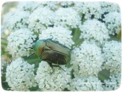 порезник бухтарминский,  зеленая бронзовка