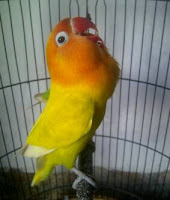 Love Bird Paskun Fighter dan Ngekek Panjang