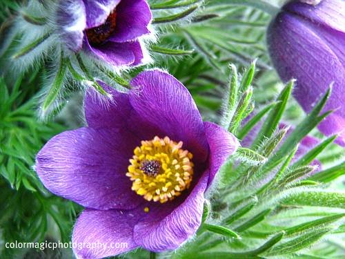 Pasqueflower-Anemone pulsatilla-closeup macro photo