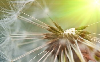 Wallpaper: Dandelion Seeds