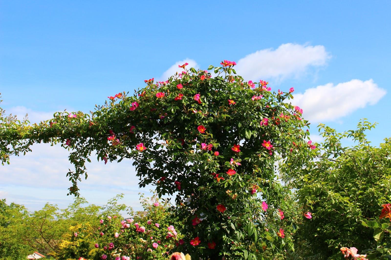 roses du jardin ch neland taille des rosiers lianes. Black Bedroom Furniture Sets. Home Design Ideas