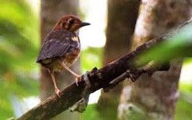 2 Tips Dan Cara Merawat Burung Anis Merah Trotolan Paling Lengkap
