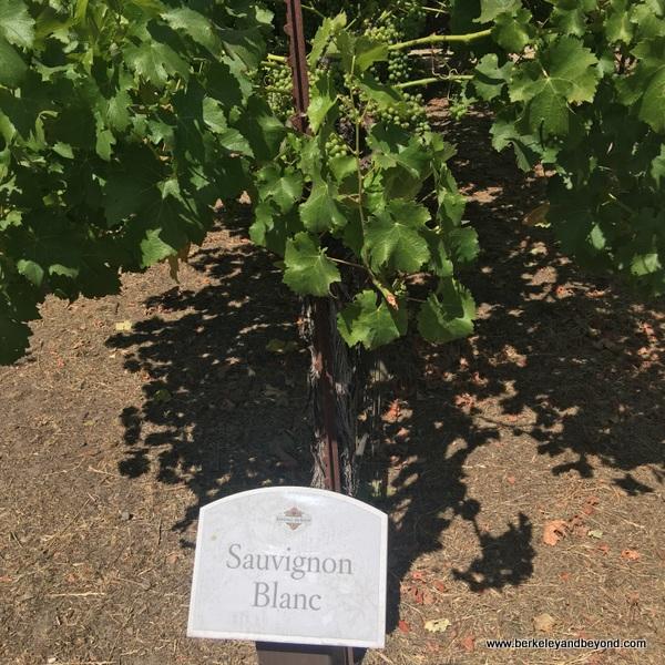 Sauvignon Blanc grapevines in Wine Sensory Gardens at Kendall-Jackson Wine Estate & Gardens in Fulton, California