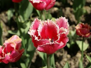 Tulipa Madison Garden - Tulipe Madison Garden - Tulipe frangée Madison Garden