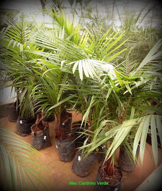 Mudas de palmeira de pescoço marrom