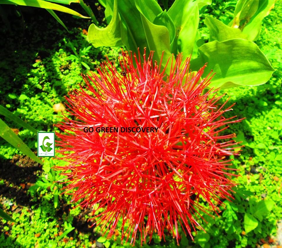 Seeds for sale online lily iris seeds bulbs plants for Plants for sale