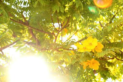 Gold medallion trees in Santa Monica, CA.