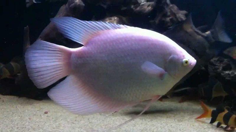 Jenis ikan Sepat Hias-Ikan Sepat Albino