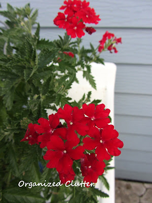 Cottage Garden - Trailing Verbena